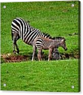 Stopping For A Drink Acrylic Print