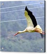 Stork In Flight Acrylic Print