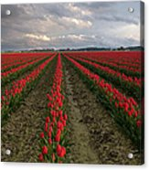 Stormy Red Tulips Acrylic Print