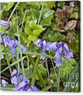 Stormy Wild Bluebell  Acrylic Print by Tim Rice