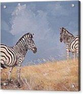 Stormy Zebra Acrylic Print