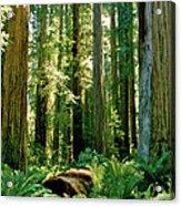 Stout Grove Coastal Redwoods Acrylic Print