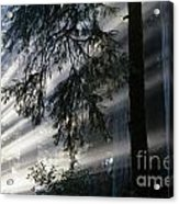 Stout Grove Redwoods With Sunrays Breaking Through Fog Acrylic Print