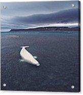 Stranded Beluga Whale Awaiting Incoming Acrylic Print