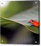 Strawberry Poison Frog Acrylic Print