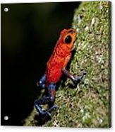 Strawberry Poison Frog Acrylic Print