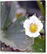 Strawberrys Flower Acrylic Print