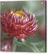 Strawflower Acrylic Print