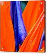 Strelitzia Colour Acrylic Print