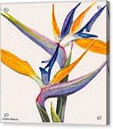 Strelitzia Flowers Acrylic Print
