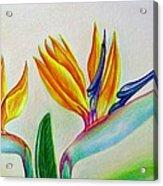 Strelitzia - Together Acrylic Print