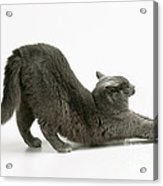 Stretching Cat Acrylic Print