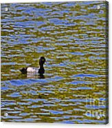 Striking Scaup Acrylic Print