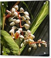 String Of Shell Ginger Acrylic Print
