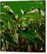 Striped Bass - Painterly V2 Acrylic Print