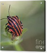 Striped Bug Acrylic Print