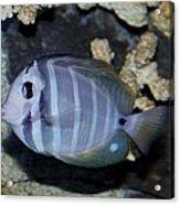 Striped Fish Acrylic Print