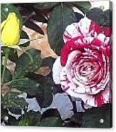 Striped Rose And Yellow Acrylic Print