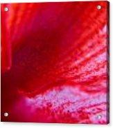 Stripes Of A Lily Acrylic Print by Kim Lagerhem