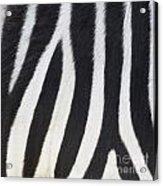 Stripes On Zebra Acrylic Print
