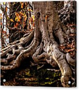 Strong Roots Acrylic Print by Louis Dallara