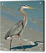 Strutting Heron Acrylic Print