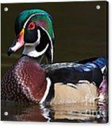Strutting His Stuff - Wood Duck Acrylic Print