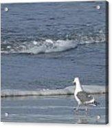 Strutting Seagull Acrylic Print