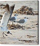 Strutting Seagull On The Beach Acrylic Print