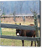 Stubborn As A Mule Acrylic Print by Rhonda Humphreys
