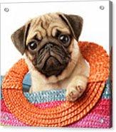 Stuck Pug Acrylic Print by Greg Cuddiford