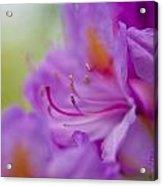 Study In Purples Acrylic Print