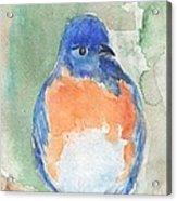 Study Of A Bluebird Acrylic Print