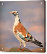 Study Of A Carrier Pigeon Acrylic Print