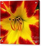 Stunning Daylily  Acrylic Print