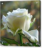Stunning Rose Acrylic Print