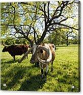 Stunning Texas Longhorns Acrylic Print
