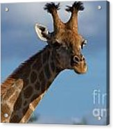 Stylish Giraffe Acrylic Print
