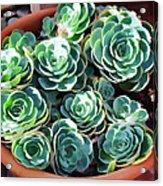 Succulent 13 Acrylic Print