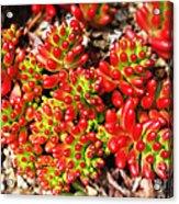 Succulent 3 Acrylic Print