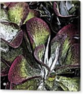 Succulent At Backbone Valley Nursery Acrylic Print