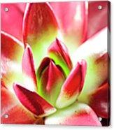 Succulent Echeveria Acrylic Print