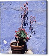 Succulent Blue Acrylic Print