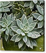 Succulent Rose In Moss Green Pot Acrylic Print