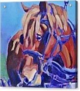 Suffolk Punch Draft Horse Plow Match Acrylic Print