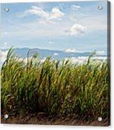 Sugar Cane Field - Maui Acrylic Print