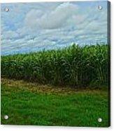 Sugar Cane Fields Acrylic Print