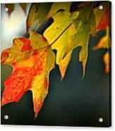 Sugar Maple Fall Colors Acrylic Print