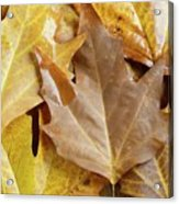 Sugar Maple Leaves Acrylic Print