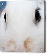 sugar the easter bunny 1 -A curious and cute white rabbit close up Acrylic Print
